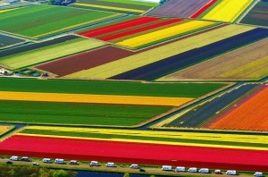 Tulip Fields - popular with tourists