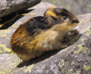 An actual Lemming - not as impressive as a Weasel.